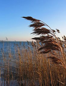 Phragmites Australis seed head in winter